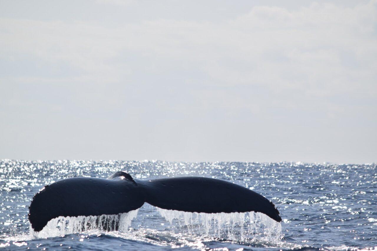 クジラの季節ですよ~(≧◇≦)【沖縄のマリンスポーツ専門店☆水納島マーメイド】
