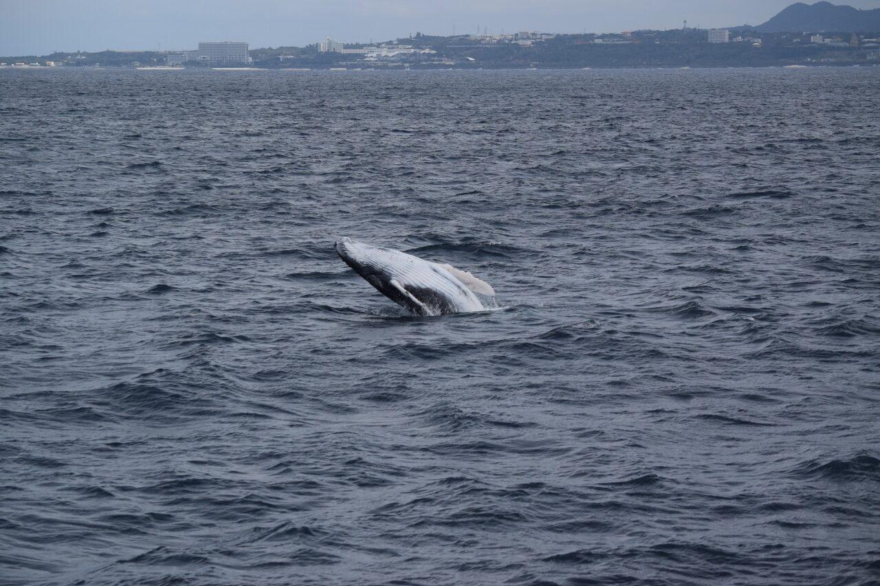 親子クジラに遭遇☆【沖縄のマリンスポーツ専門店☆水納島マーメイド】